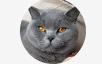 David the british shorthair cat